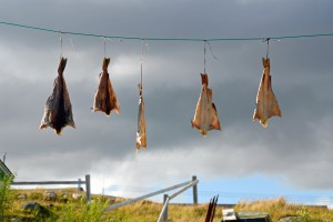 drying some cod for Friday night supper